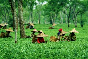 HACCP for the tea industry