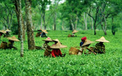 HACCP for the tea industry in Sri Lanka